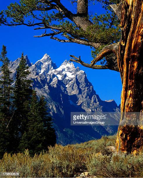 Nobody North America USA Wyoming Jackson Grand Teton NP Teton Range Cathedral Group framed by Limber Pine