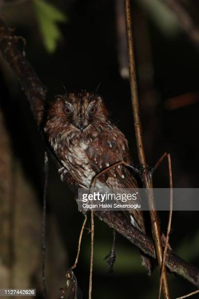 nocturnal feline owlet-nightjar, aegotheles insignis, on its day roost - nightjar stock photos and pictures