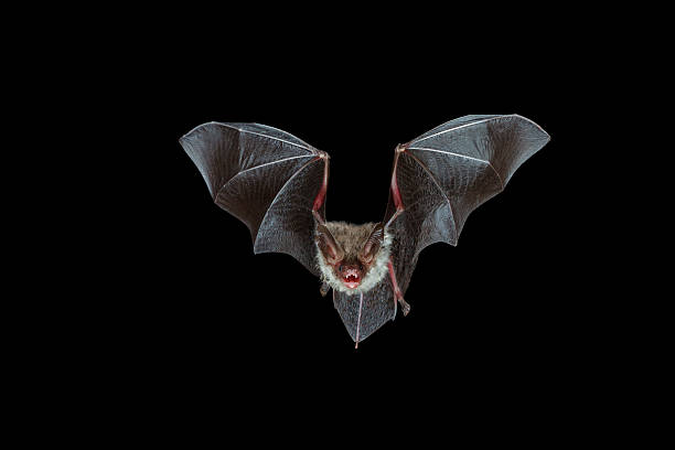 nocturnal flight of a bechstein´s bat