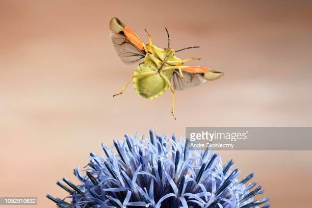 Nocturnal fruit bug (Carpocoris fuscispinus), in flight, at a globe thistle, Germany