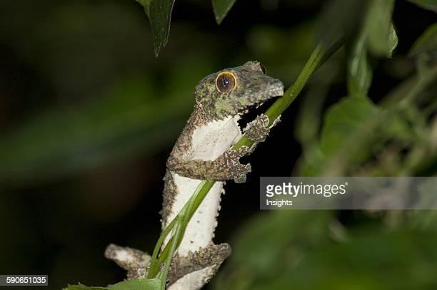 Nocturnal Gecko Ranomafana National Park Fianarantsoa Province Madagascar