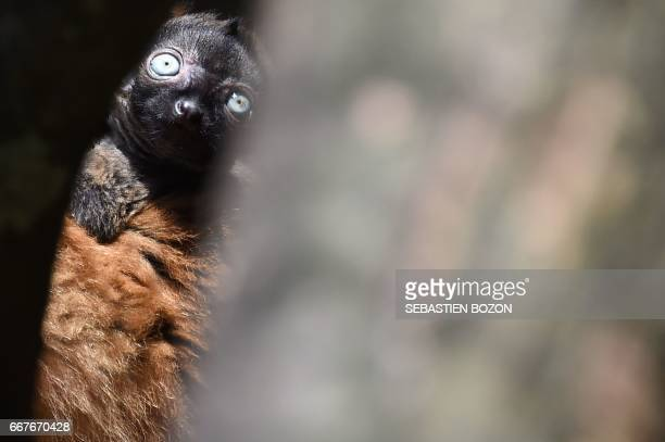 Nofy a blueeyed black lemur cub is pictured with his mother Jaune at the zoo of Mulhouse northeastern France on April 12 2017 / AFP PHOTO / Sebastien...