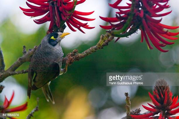 60 Top Noisy Miner Pictures, Photos, & Images - Getty Images