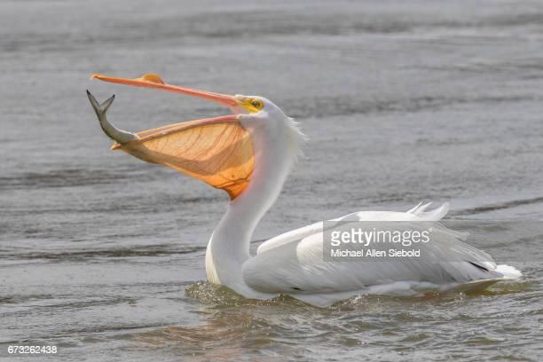 nom nom nom - pelicans stock pictures, royalty-free photos & images