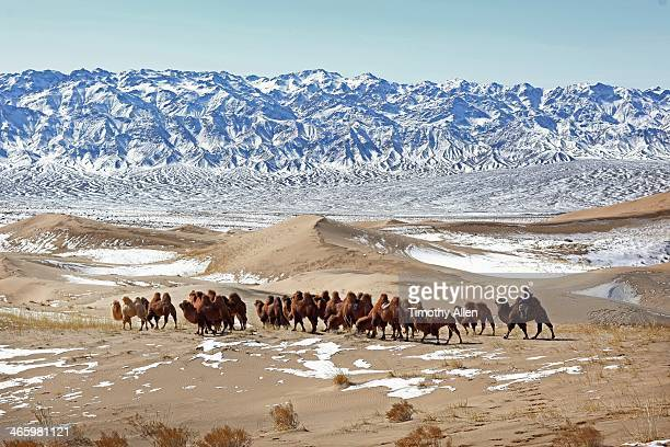 nomad corrals caravan of camels across gobi desert - gobi desert stock pictures, royalty-free photos & images