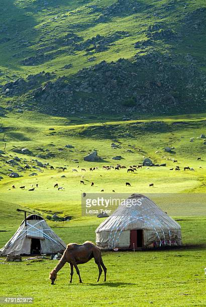 Nomad yurts sheep and camels in the Kanas Valley at the Altai Mountains near the very northern tip of Xinjiang Province bordering Kazakhstan Mongolia...
