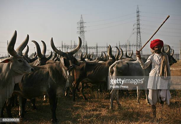 A nomadic cowboy keeping cows in a field at Swada JJ Colony in Delhi on Tuesday