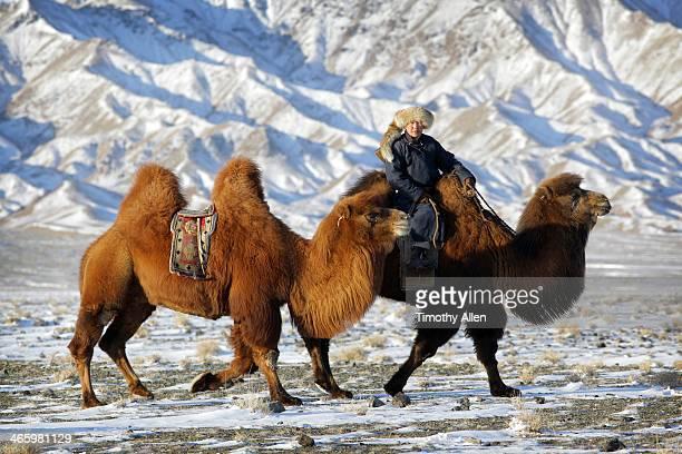 nomadic herder rides bactrian camel, gobi desert - camel active stock-fotos und bilder