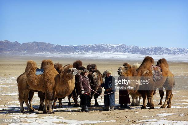 Nomadic herders & Bactrian camels, Gobi desert