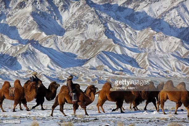 Nomadic herders lead caravan of Bactrian camels