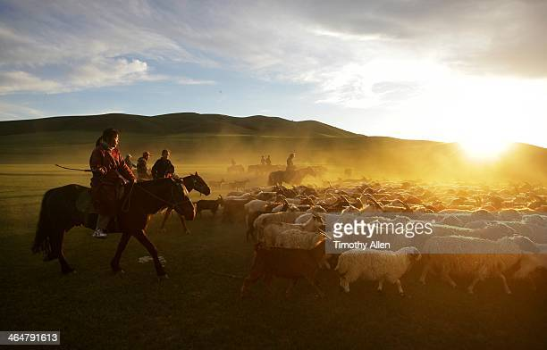 Nomadic horsemen herd cashmere goats at sunset