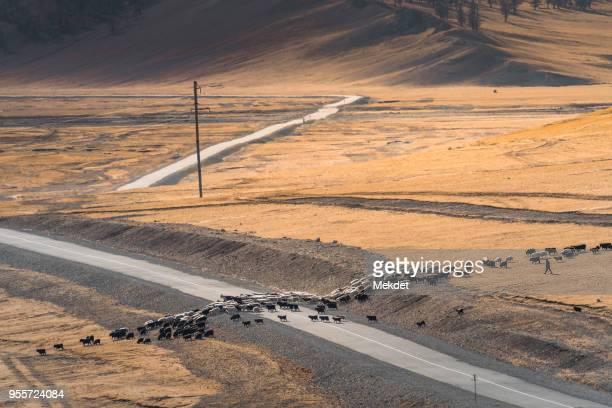 nomadic man herd his livestock in hatgal, khovsgal, northern mongolia - säugetier stock-fotos und bilder