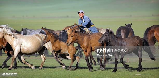 nomadic mongolian herder lassoes foal - pastora vega fotografías e imágenes de stock