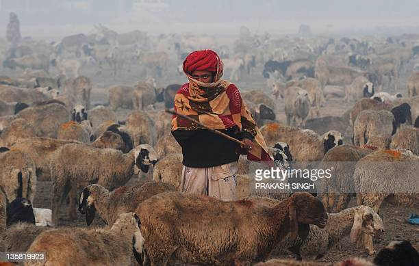 Nomadic shepherds from Rajasthan herd their sheep at a camp on the outskirts of New Delhi on December 15 2011 These shepherds still cling on to...