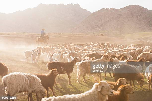 Nomadic young man and livestocks