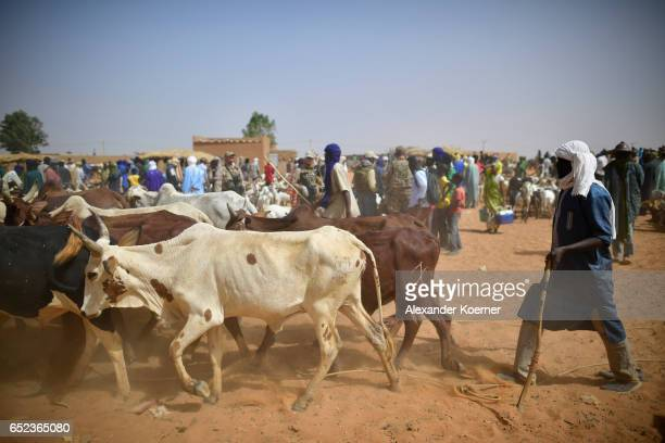 Nomads bring in their cows during a weekly cattle market on the outskirts of Gao on March 7 2017 in Gao Mali The soldiers of the Bundeswehr try to...
