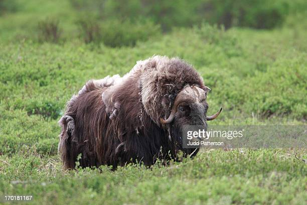 Nome Muskox