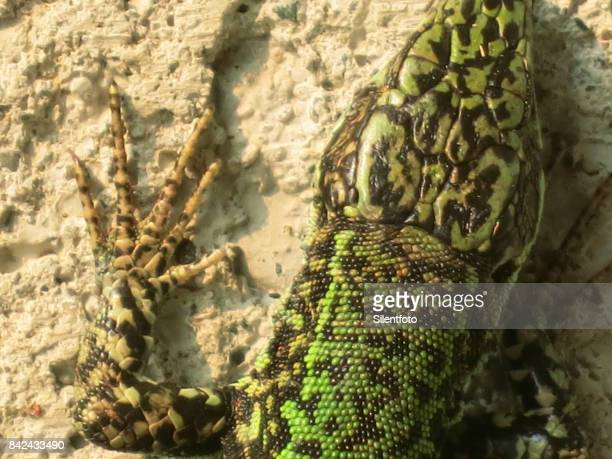 Non-Native Wall Lizard, BC, Canada