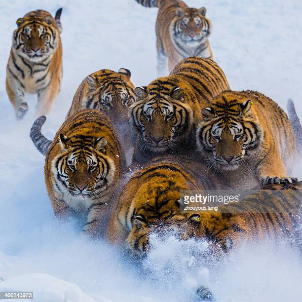 Nontheast Tigers