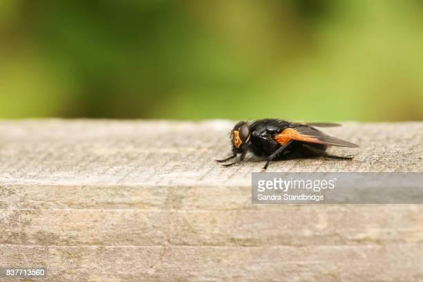 a noon fly (mesembrina meridiana). - hertford hertfordshire stockfoto's en -beelden