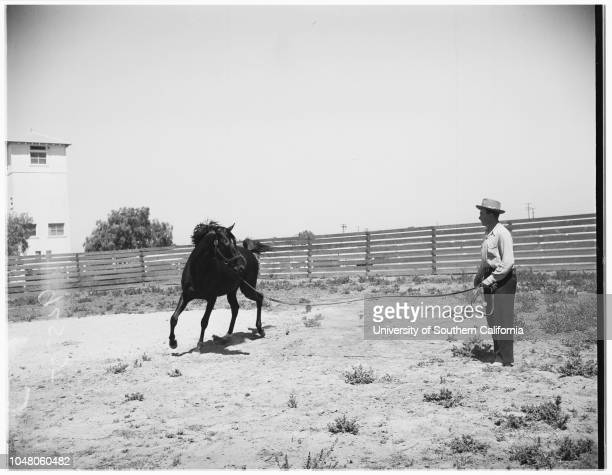 Noor' series for strip at Howard Ranch, San Ysidro, 6 August 1951. 'Red' Briar, foreman;Bob Browning, Noor's groom, Barbara Anne Browning -- 7...