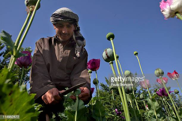 Nooraga harvests the opium sap from the bulb of the plant during a tenday harvesting period May 31 2011 in Fayzabad Badakhshan Afghanistan According...