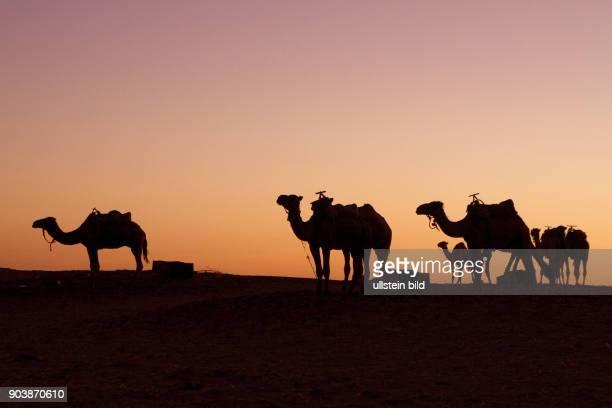 Nordafrika MAR Marokko Erg Chebbi Suedoestlich von Erfoud erstrecken sich bei der kleinen Oase Merzouga die groessten und hoechsten Sandduenen...