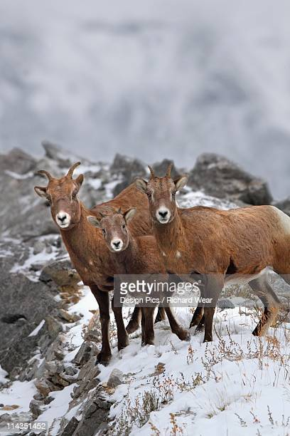 nordegg, alberta, canada - argali sheep stock photos and pictures