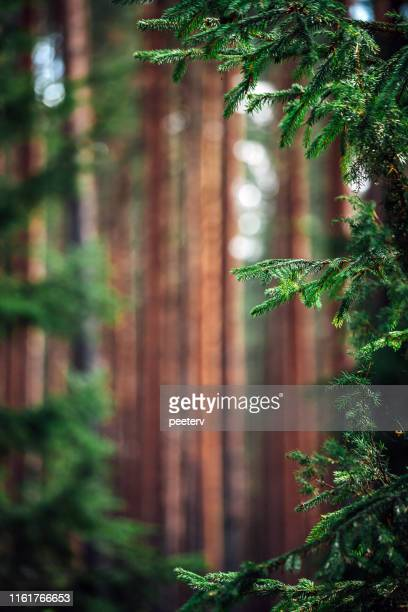 nordic forest - latvia stock pictures, royalty-free photos & images