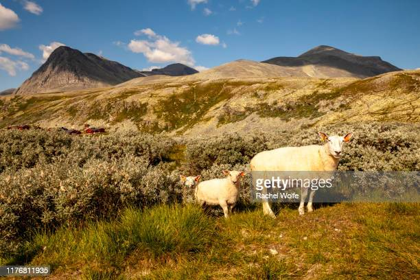 nordic sheep in the mountains - rachel wolfe stock photos and pictures