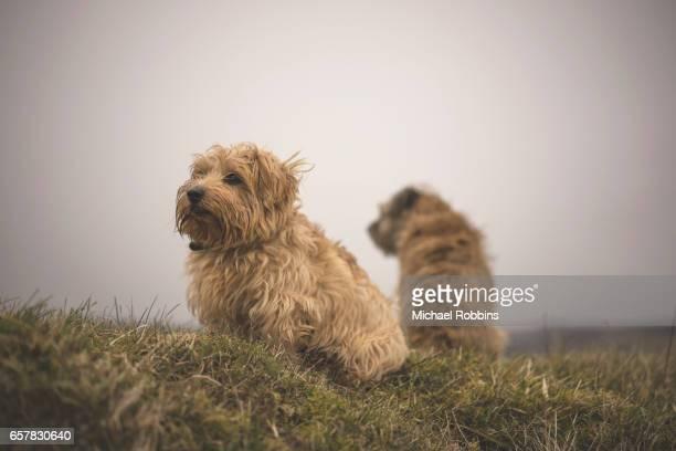 norfolk and border terrier - norfolk terrier photos et images de collection