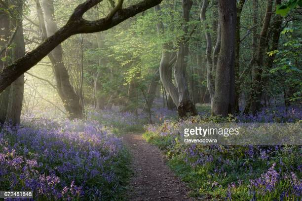 norfolk bluebell woodland - bluebell wood stock pictures, royalty-free photos & images