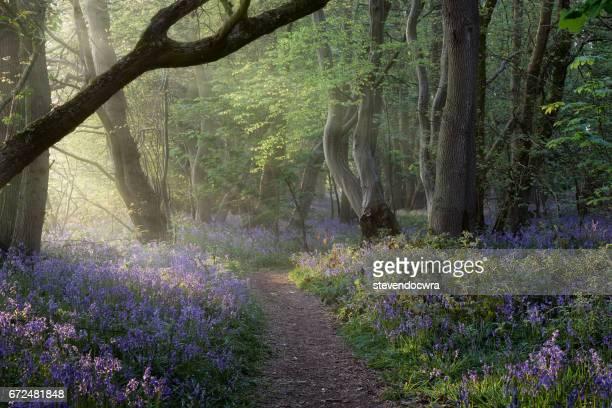 Norfolk Bluebell Woodland