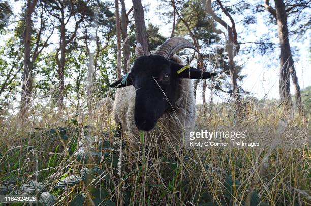 Norfolk Horn sheep on Hampstead Heath in London, after sheep were returned for the first time since the 1950s as part of a week-long trial to see if...