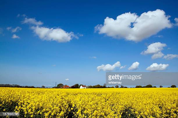 Norfolk landscape with oilseed rape