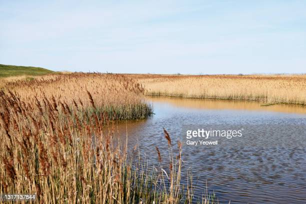 norfolk reeds in shallow water - norfolk england stock pictures, royalty-free photos & images