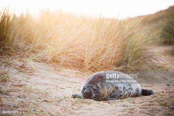 norfolk seal - seal pup stock photos and pictures