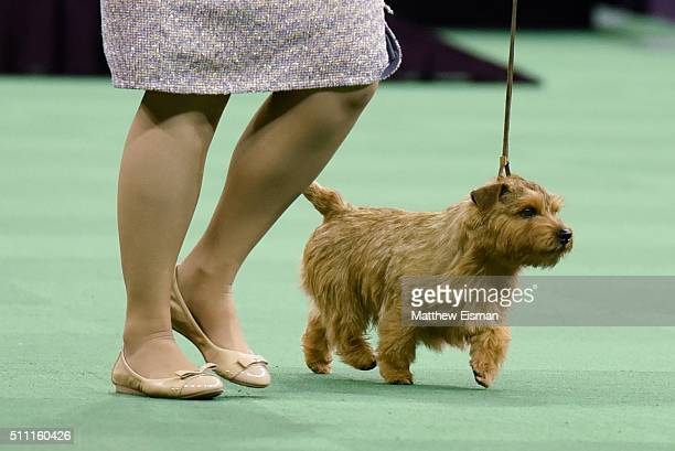 Norfolk Terrier competes in the Terrier Group during the second day of competition at the 140th Annual Westminster Kennel Club Dog Show at Madison...