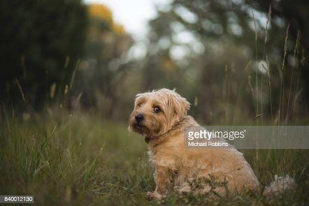 norfolk terrier - norfolk terrier photos et images de collection