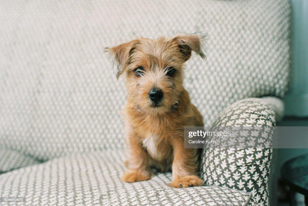 Norfolk Terrier Puppy : Stock Photo