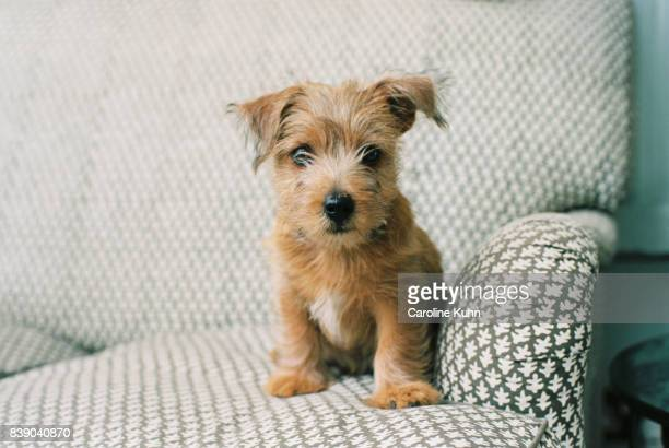 norfolk terrier puppy - puppies - fotografias e filmes do acervo