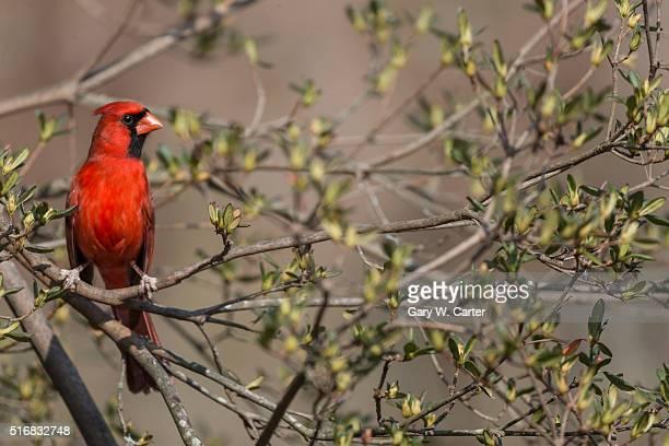 norhern cardinal - cardinal bird stock photos and pictures