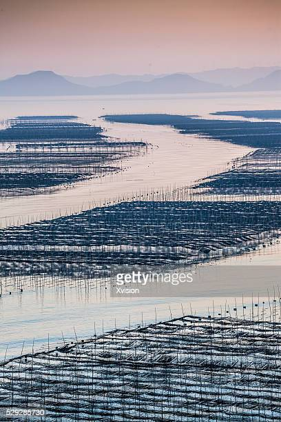 nori cultured with bamboo craft in the shallows - nori stock photos and pictures