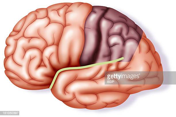 Normal Brain With Sylvian Fissure And Parietal Lobe Illustration Of The Exterior Surface Of A Normal Brain With The Sylvian Fissure And Parietal Lobe...