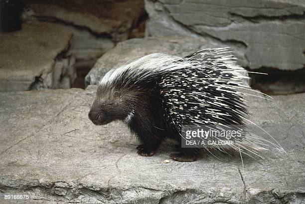 North African crested porcupine on rock