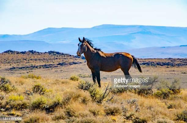 North America, USA, California, Black Rock Desert, Wild Horses, Bronze Stallion.
