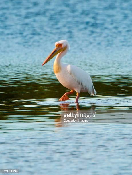North America, USA, Florida, Fort Meyers, Sanibel Island, J.N. Ding Darling NWF, Great White African Pelican with American White Pelicans.