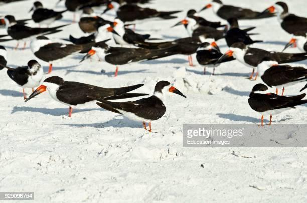 North America, USA, Florida, Sarasota, Crescent Beach Siesta Key, Black Skimmers.
