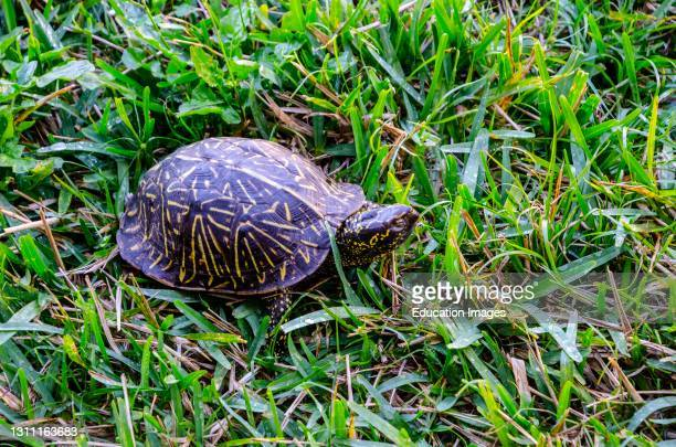 North America, USA, Florida, Sarasota, Crescent Beach, Siesta Key, Florida Box Turtle.