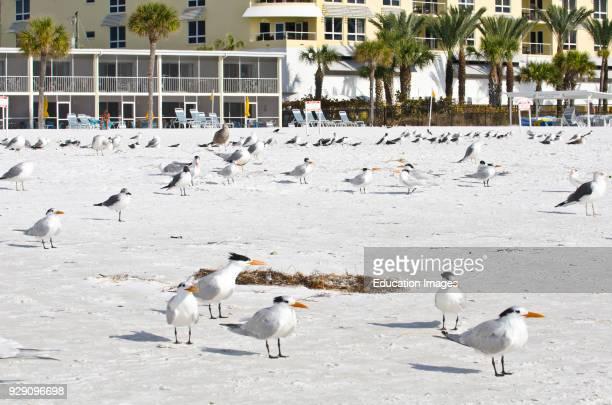 North America USA Florida Sarasota Crescent Beach Siesta Key Mixed shorebirds